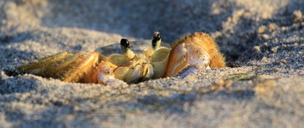 13-Faune-Animaux-Crabe-Plage-Ponta-Grossa-Ceara-Bresil©TerraTributa (1)