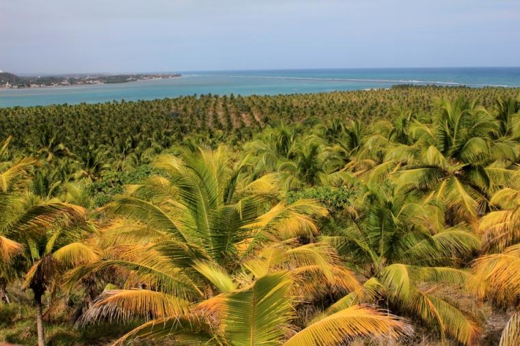 Les habitants de l'Alagoas exploitent de nombreuses plantations de cocotiers comme ici près de la plage do Gunga.