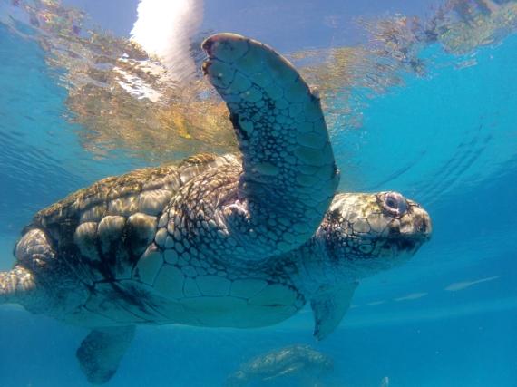 Une tortue caouanne nageant dans un des bassins du centre des visiteurs du projet Tamar de la Praia do Forte. Cette espèce possède un statut « en danger » au Brésil et dans le monde avec une population estimée à 60 000 femelles en âge de reproduction.