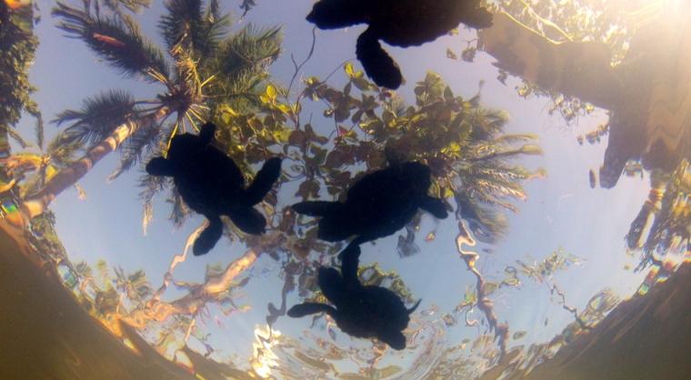 Pequenas tartarugas cabeçudas de alguns dias nadam numa tanque antes de serem recolocadas em liberdade. As tartarugas do centro de visitas tem um grande poder de educação ambiental sobre o público. Know it, love it and protect it !» (conheça, ame e proteja) é uma frase que marcou muito Bertrand em sua viagem pelo Canadá.